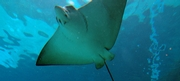 Indonesian Stingray